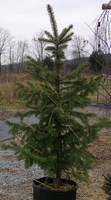 Potted_colorado_blue_spruce